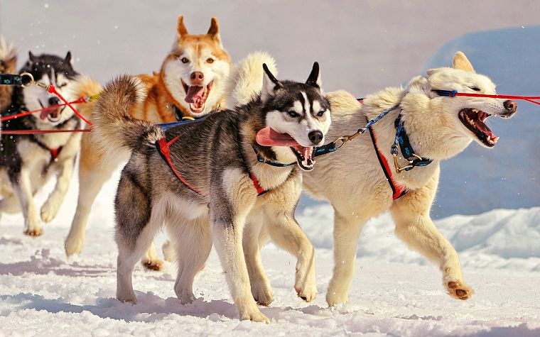 snow, animals, dogs, husky, open mouth, ropes - desktop wallpaper