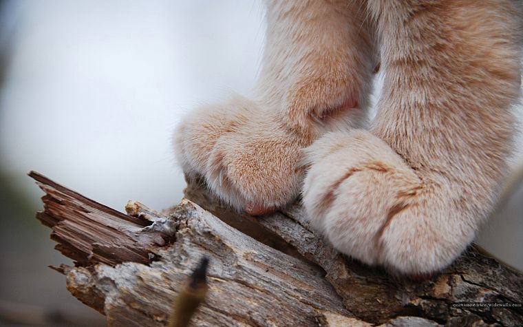 cats, animals, feline, lions, paws - desktop wallpaper