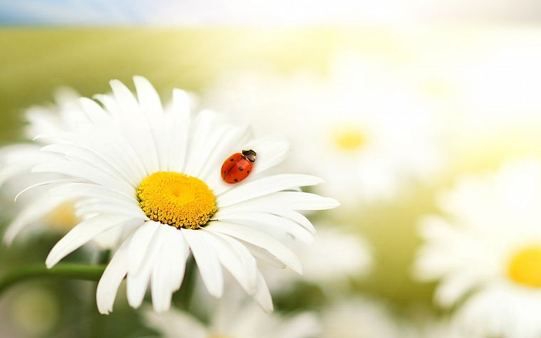 nature, flowers, summer, daisy, ladybirds - desktop wallpaper