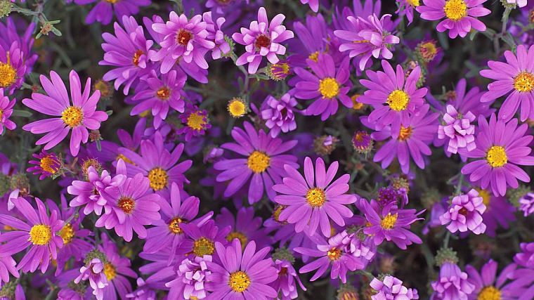 nature, flowers, purple flowers - desktop wallpaper