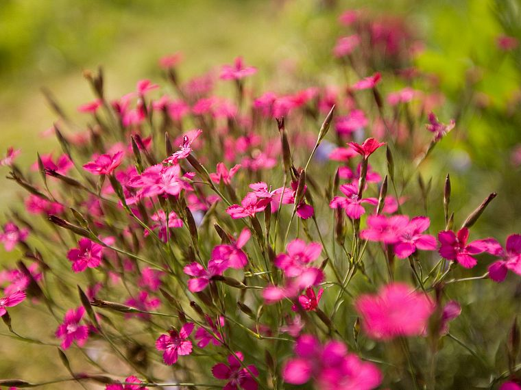 nature, flowers, outdoors, pink flowers - desktop wallpaper
