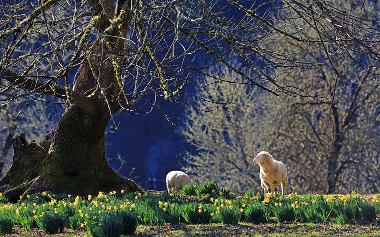 landscapes, nature, trees, animals, fields, sheep, spring, USA, sunlight, Oregon, depth of field, daffodils - desktop wallpaper