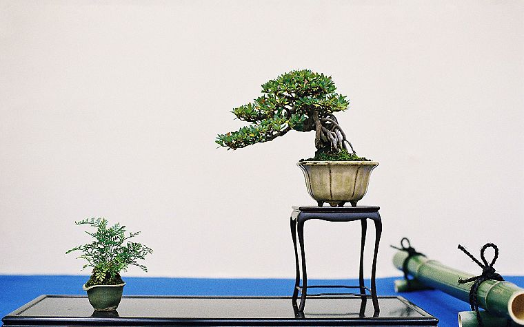bonsai - desktop wallpaper