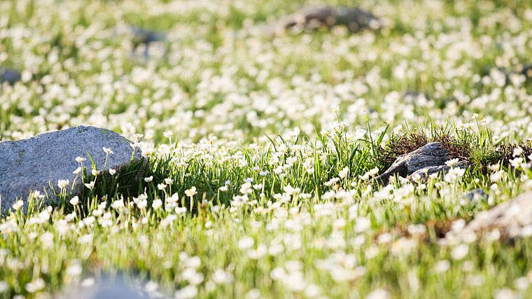 nature, flowers, rocks, white flowers, wildflowers - desktop wallpaper