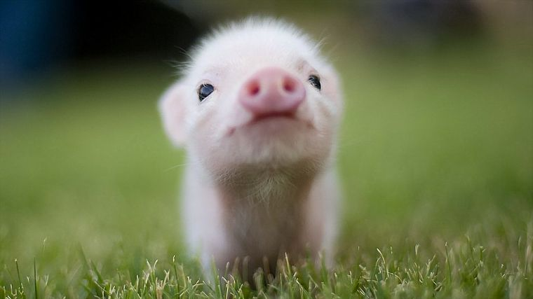 animals, grass, pigs, piglets - desktop wallpaper