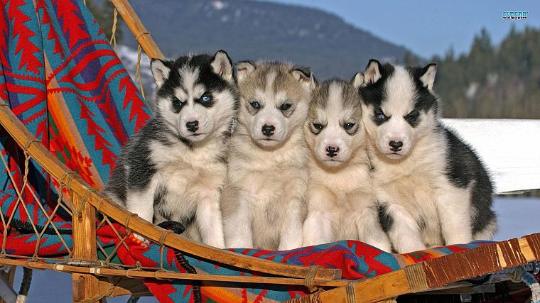 animals, dogs, puppies, husky - desktop wallpaper