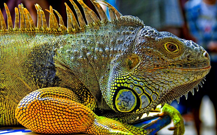 reptiles, iguana - desktop wallpaper