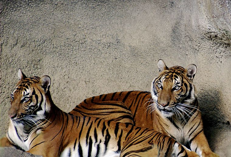 animals, tigers - desktop wallpaper