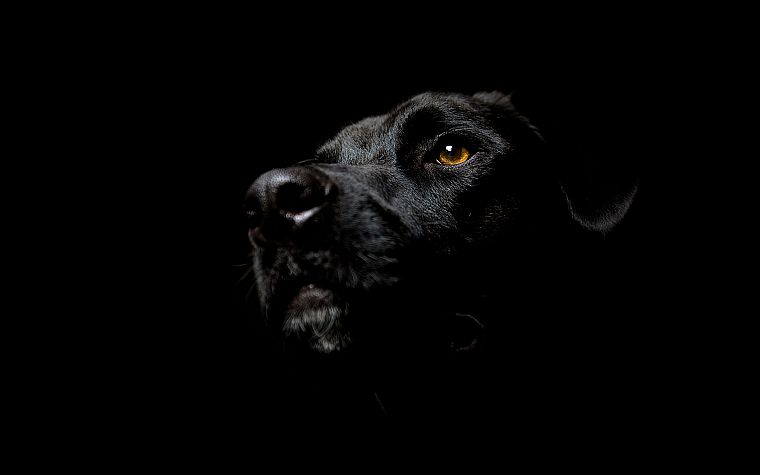black, dogs, Labrador Retriever, black background - desktop wallpaper