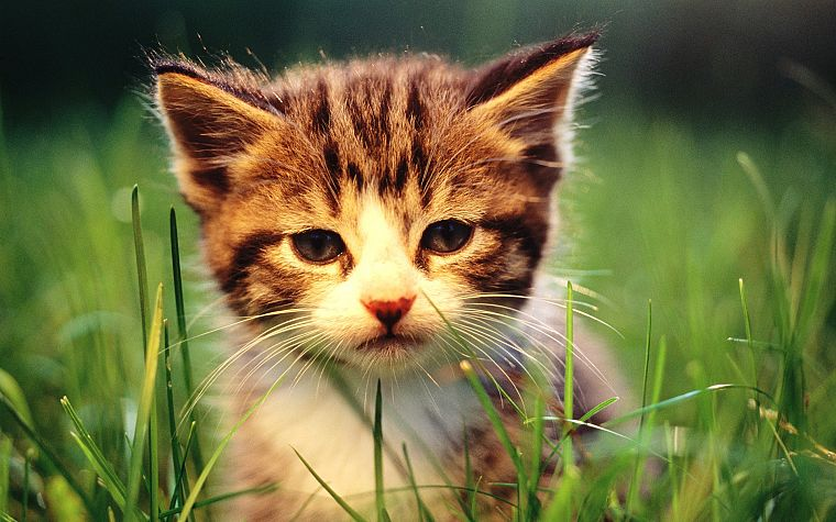 cats, animals, grass, kittens, baby animals - desktop wallpaper
