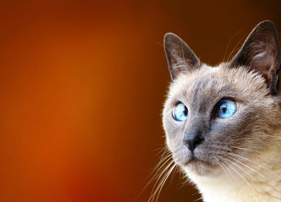 cats, blue eyes, animals, funny - desktop wallpaper