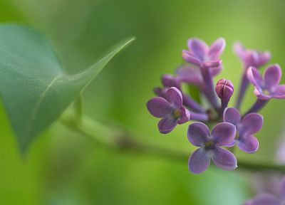 nature, flowers, spring, lilac - desktop wallpaper