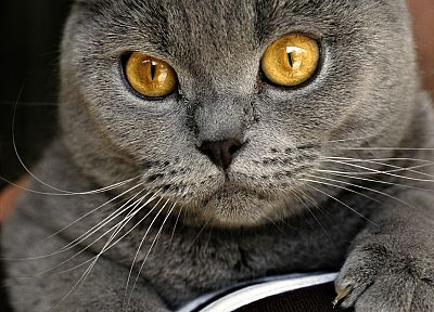 cats, Chartreux - random desktop wallpaper