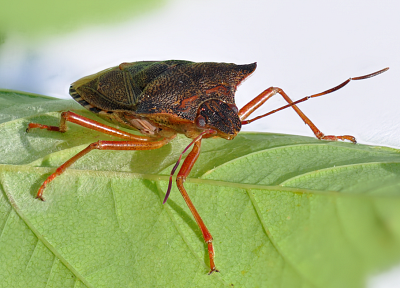 close-up, nature, insects, bugs, macro, Stink Bug, Shield Bug - desktop wallpaper