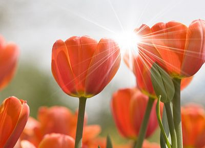 nature, flowers, plants, tulips - desktop wallpaper
