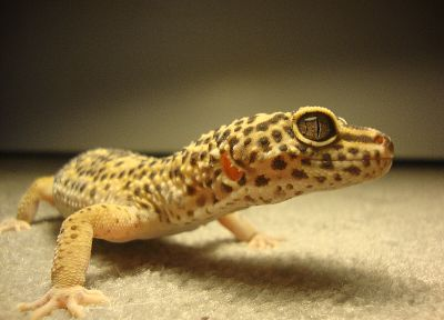 lizards, geckos, reptiles - related desktop wallpaper