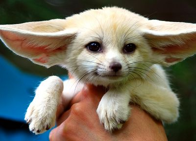 white, animals, fennec fox - related desktop wallpaper
