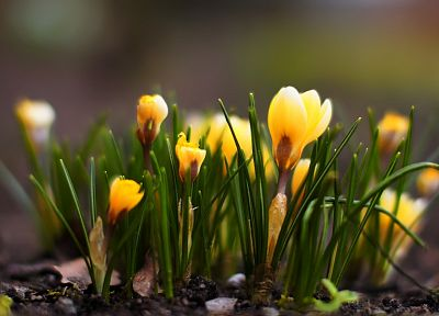 nature, flowers, crocus, depth of field - desktop wallpaper