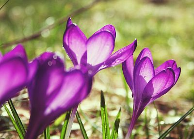 flowers, grass, crocus, purple flowers - desktop wallpaper
