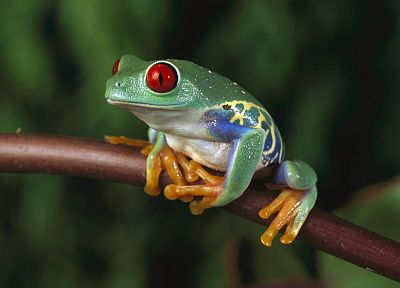 women, animals, frogs, Red-Eyed Tree Frog, amphibians - random desktop wallpaper