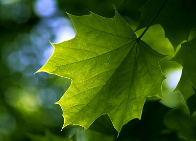 green, nature, leaf, leaves, plants, maple leaf, depth of field - related desktop wallpaper