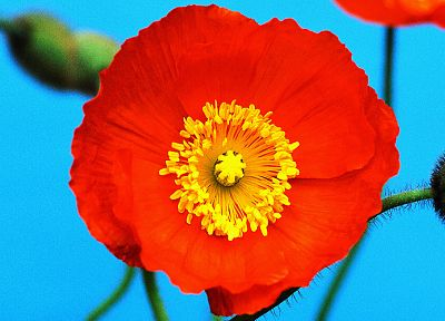 nature, flowers, macro, poppy, Icelandic, poppies - desktop wallpaper