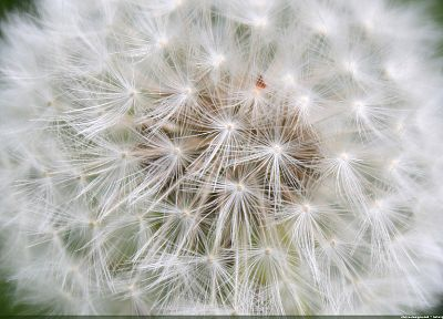 dandelions - random desktop wallpaper