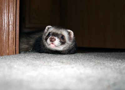 animals, ferret - random desktop wallpaper