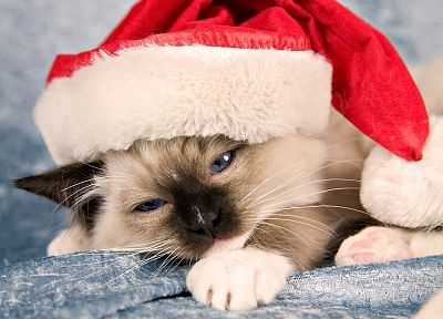 cats, animals, Christmas hat - random desktop wallpaper