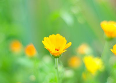 nature, flowers, yellow flowers - desktop wallpaper