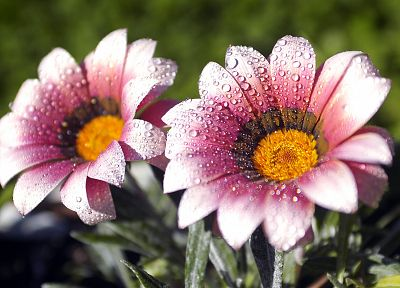 nature, flowers, water drops, macro, pink flowers - related desktop wallpaper