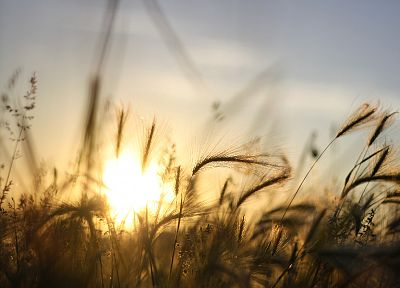 sunrise, nature, fields, summer, wheat, macro - related desktop wallpaper