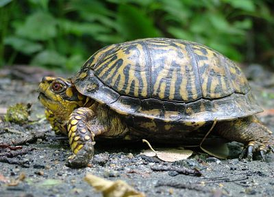 close-up, nature, animals, turtles, macro - desktop wallpaper