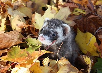 animals, leaves, outdoors, ferret, fallen leaves - random desktop wallpaper