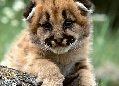 animals, mountain lions, baby animals - related desktop wallpaper