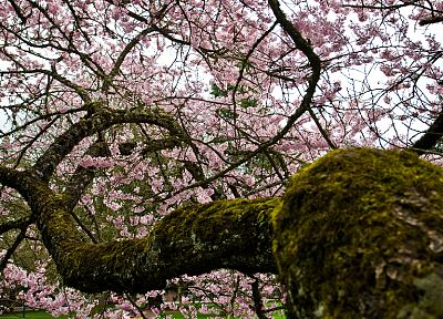 blossoms, moss, depth of field, pink flowers, flowered trees - random desktop wallpaper