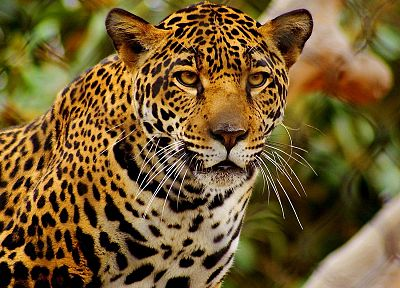 animals, feline, jaguars - random desktop wallpaper