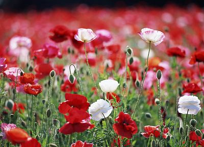 flowers, poppy, red flowers, white flowers - random desktop wallpaper