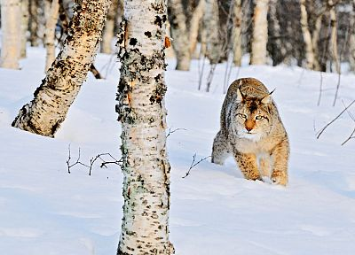 nature, snow, trees, animals, bobcats - random desktop wallpaper