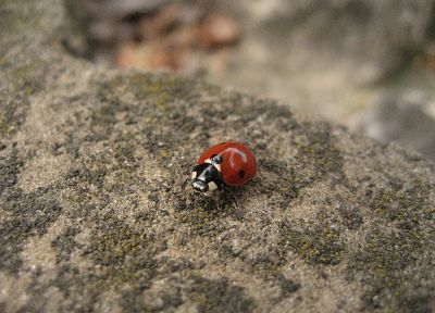 animals, macro, ladybirds - desktop wallpaper