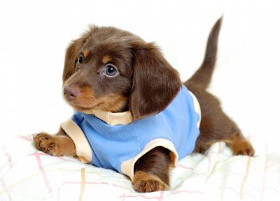 animals, dogs, puppies, canine, daschund, dachshund - related desktop wallpaper