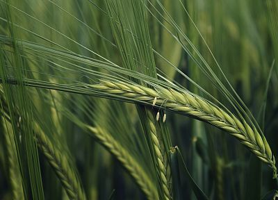 green, nature, fields, wheat, plants, macro - desktop wallpaper
