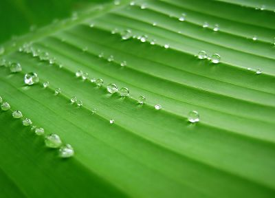 green, leaves, water drops - desktop wallpaper