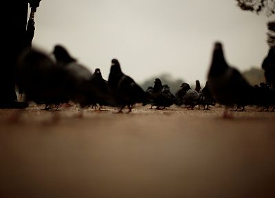 pigeons - random desktop wallpaper