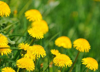 nature, flowers, plants, dandelions - desktop wallpaper