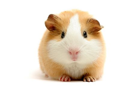 white, animals, guinea pigs, pets - random desktop wallpaper