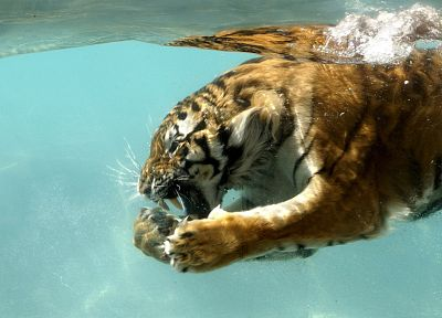 water, nature, animals, tigers, wet - related desktop wallpaper