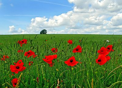landscapes, nature, red, flowers, poppy - related desktop wallpaper
