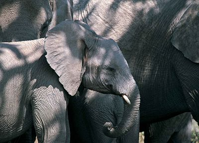 animals, wildlife, elephants, baby elephant - random desktop wallpaper