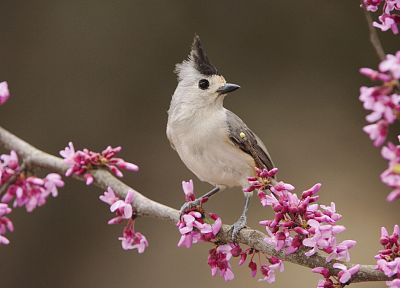 landscapes, nature, black, birds, Texas, Black Crested Titmouse - random desktop wallpaper